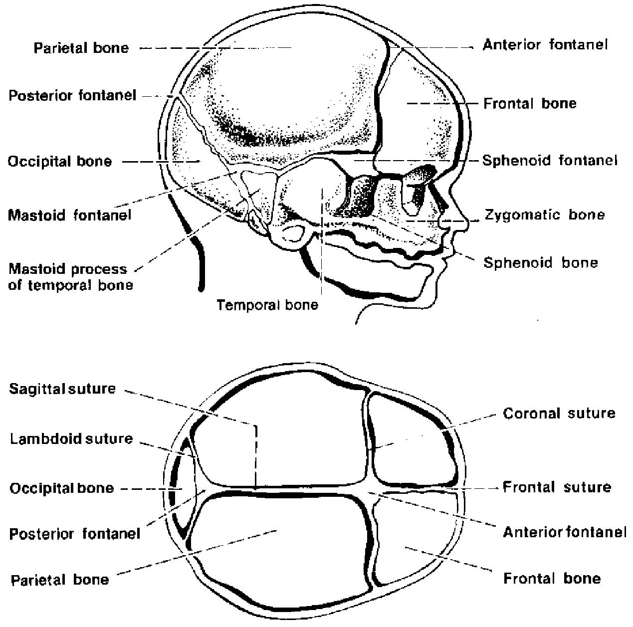 diagram of the fetal skull