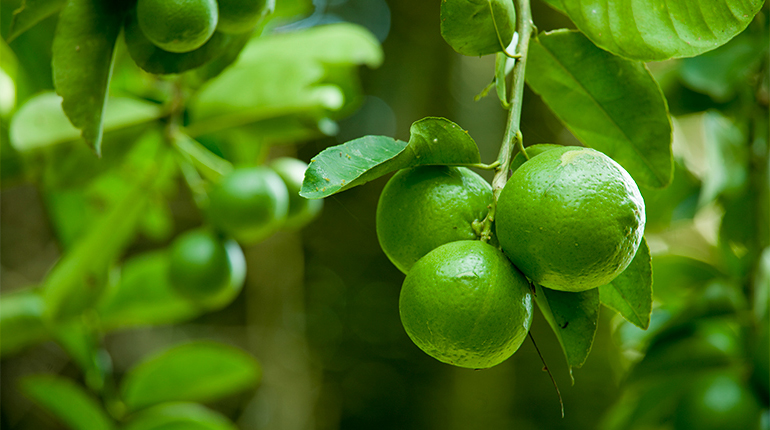 Growing limes - Brooks Tropicals