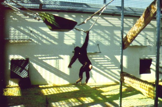 Chimpanzee Enclosure