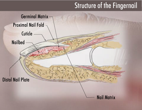Nail Matrix Your Finger Nails