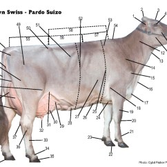 Dairy Cow Parts Diagram Ranger Trail Boat Trailer Wiring Brown Swiss Association Gt Breed