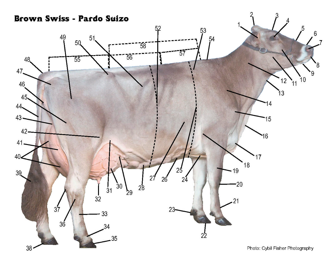 labelled diagram of a cow sample business process flow brown swiss association gt breed