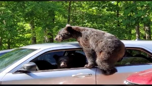gatlinburg-bears-727168854