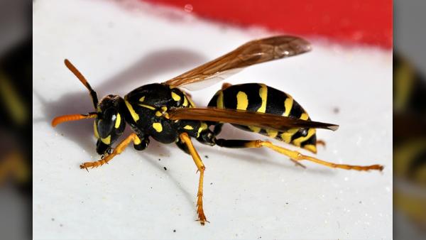 CFOK_Bee wasp insect stings_Pixabay_0606_1559855641356.jpg-727168854.jpg