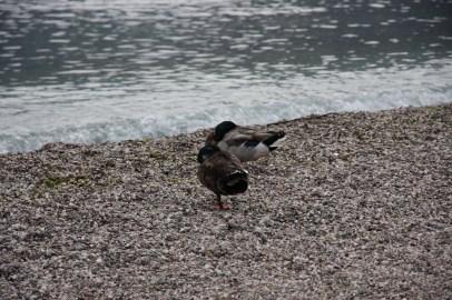 Die Enten sind wohl auch geschafft...