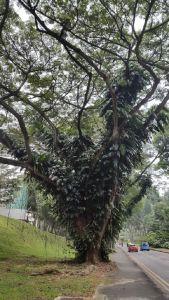 Regenboom