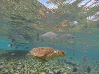 Loggerhead Turtle Caye Caulker