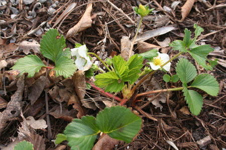 strawberry plant with two blooms