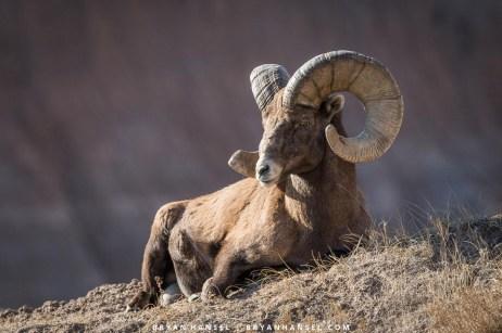 big horn in the badlands