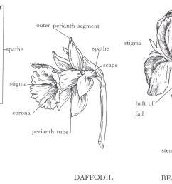 araceae flower daffodil bearded iris [ 2129 x 1067 Pixel ]