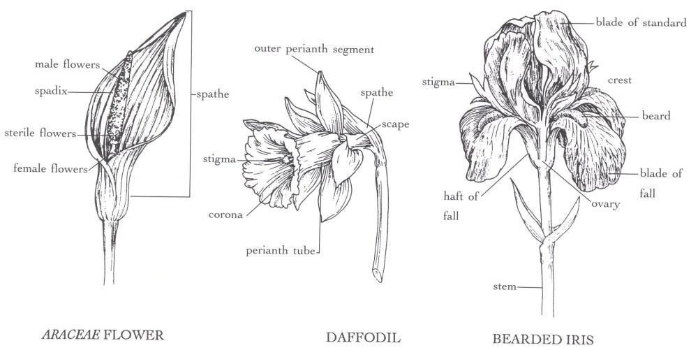 medium resolution of araceae flower daffodil bearded iris