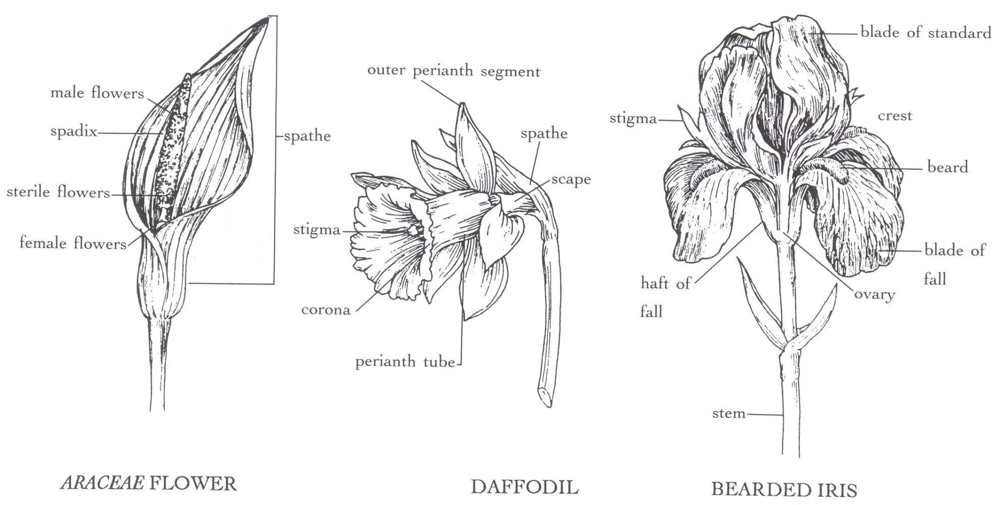 hight resolution of araceae flower daffodil bearded iris
