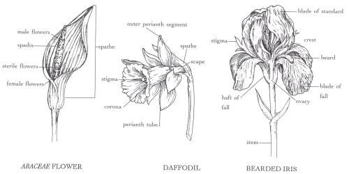 small resolution of araceae flower daffodil bearded iris