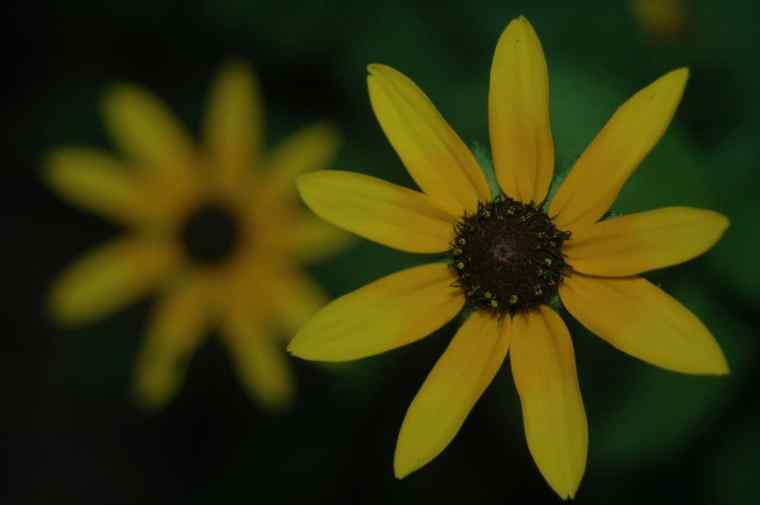 2 yellow flowers, 1 in clear focus, 1 blurry