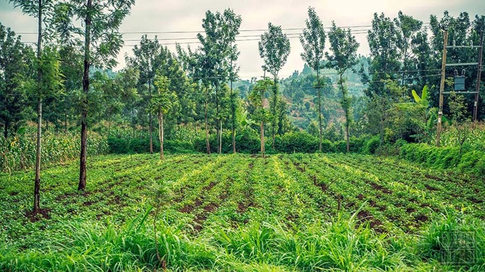 A Kenyan farm with beautiful greenery.