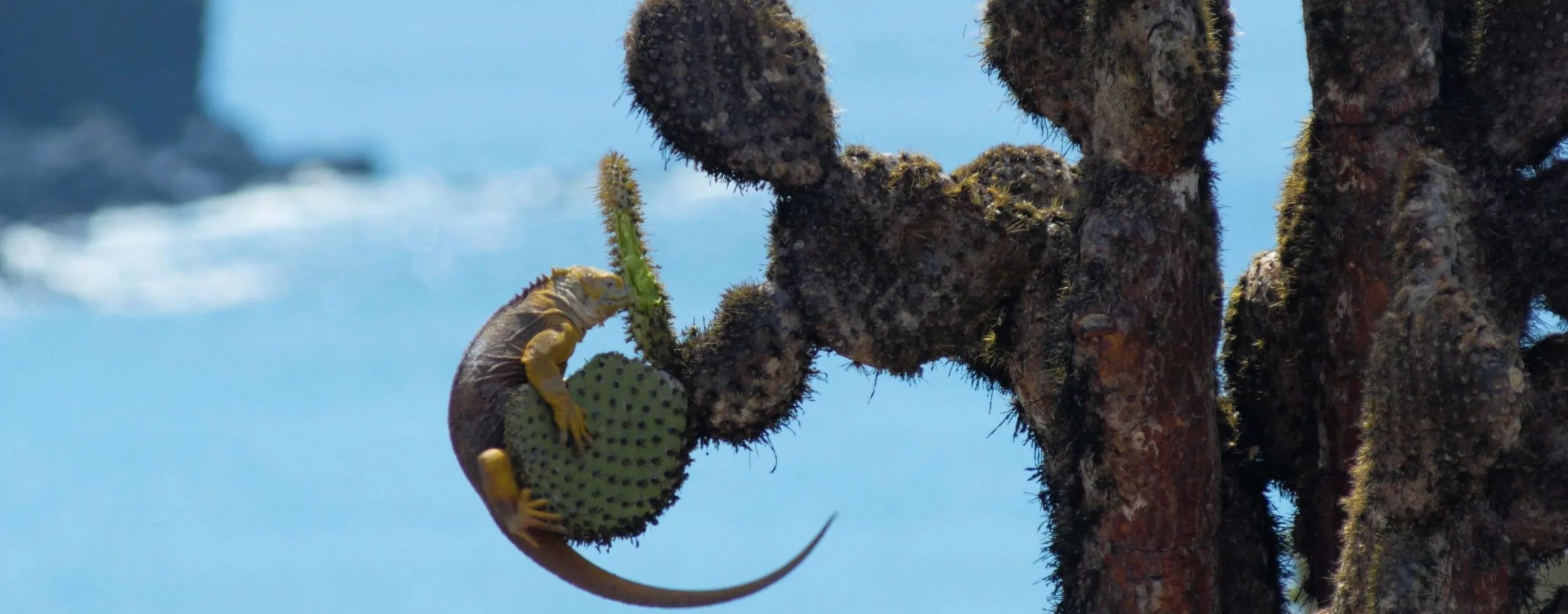 frame grab of iguana on a cactus from a documentary film