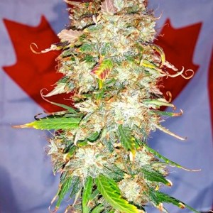 b-s-b auto northern big bud bud poster 2