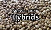 001 hybrids