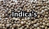 001 indica's