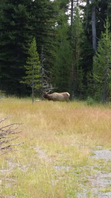 FIRST ANIMAL: ELK!