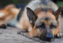 Diveto di catena per i cani