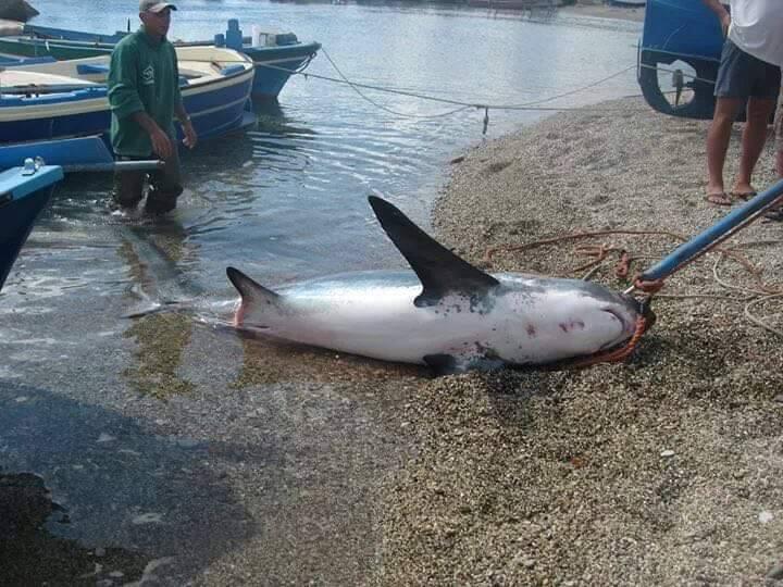 Garda trovato uno squalo di 200 chili nelle acque del for Grosso pesce di lago