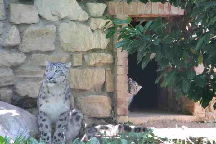 I due cuccioli di leopardo delle nevi al parco Le Cornelle di Bergamo