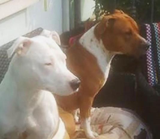 I cani che hanno azzannato la piccola di Flero