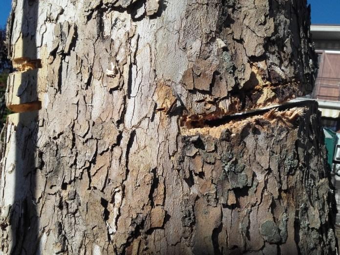 Uno degli alberi tagliati a colpi di motosega da un anonimo a San Polo (Brescia), foto da Comune