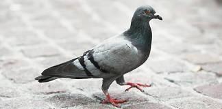 Ordinanza contro uccelli acquatici e piccioni a Desenzano - www.bsnews.it