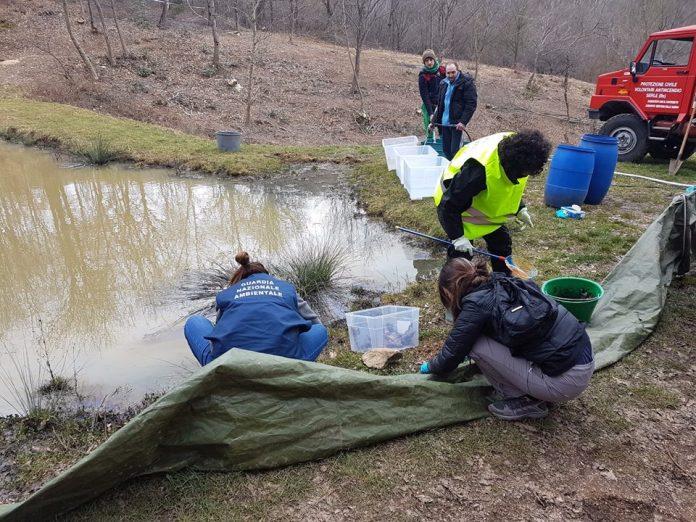Recupero dei rospi al laghetto Medér - foto: Guardia Nazionale Ambientale distaccamento di Brescia