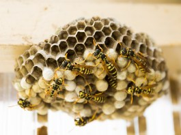 Nido di vespe, foto generica da Pixabay