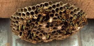 Un nido di vespe