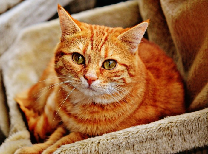 Gatto, foto generica da Pixabay
