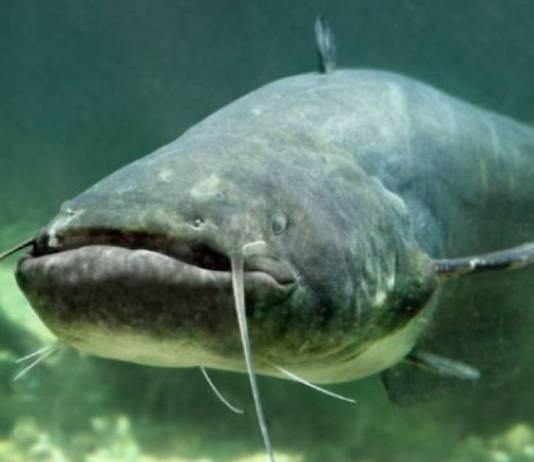Pesce siluro