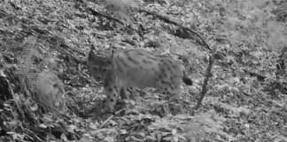 La lince fotografata nei boschi dell'Alto Garda nel 2020 da ERSAF