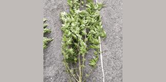 pianta di canapa sequestrata - foto Carabinieri Brescia