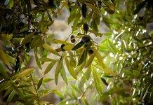 ulivo - olive - Foto di Julie-Kolibrie da Pixabay