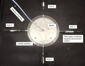 Olfactometer on black background. A circular glass instrument is displayed. It has a central, inner chamber and four tubes arranged as a cross off this central chamber. Each tube is called an arm and arm 1 has a filter paper containing bacterial odour. A white plastic tube emerges from the central chamber, through which air flows up and out. A small beetle can be seen in the central chamber, between arm 1 and 4.