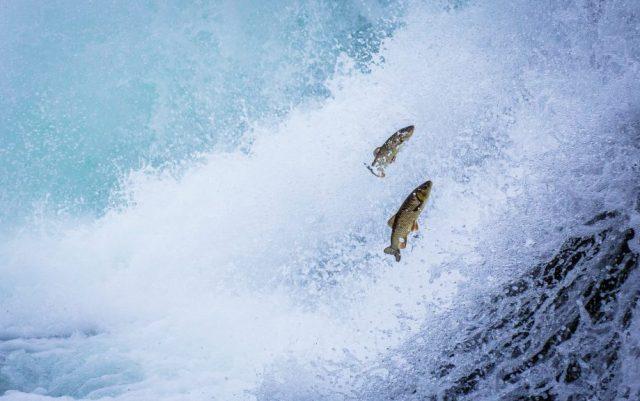 Forellen springen stromaufwärts (Symboldild PundiX, BTT, Filecoin)