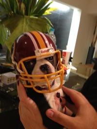 Dog Ready for Football Wearing Football Helmet
