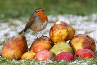 Robin with apples by Jill Pakenham/BTO