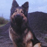 Pc Alan Beddoe's dog 'Major' in the early 1980's