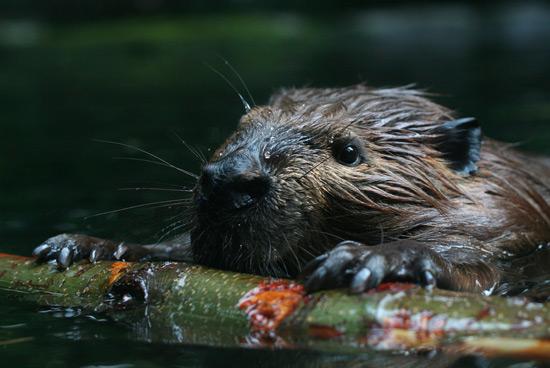 The Secret Sex Lives of Beavers   Bostonia   BU Alumni ...
