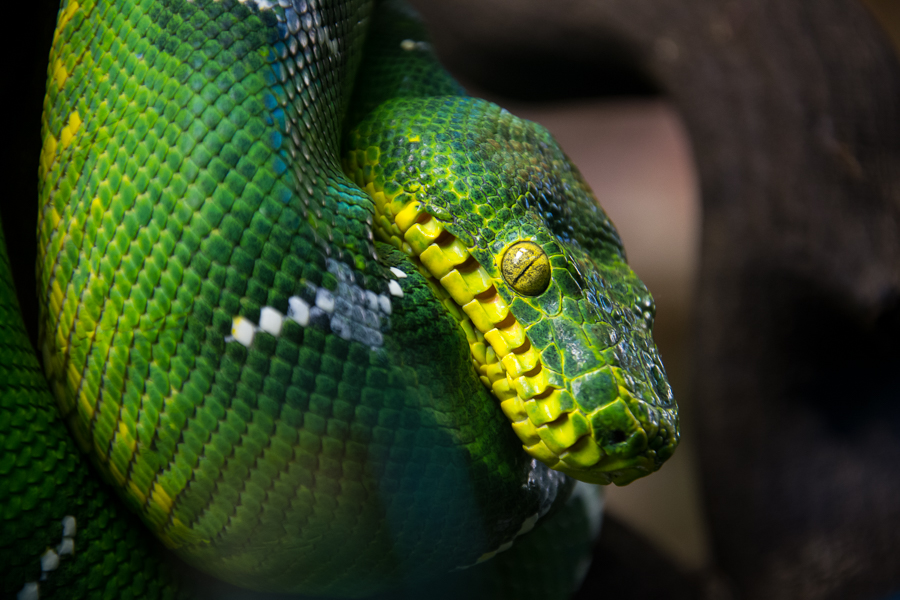 A green poisonous snake photographed at Skansen.