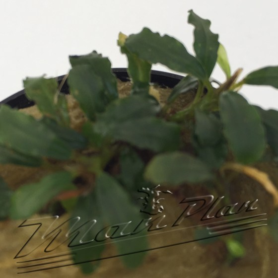 Bucephalandra Nekan
