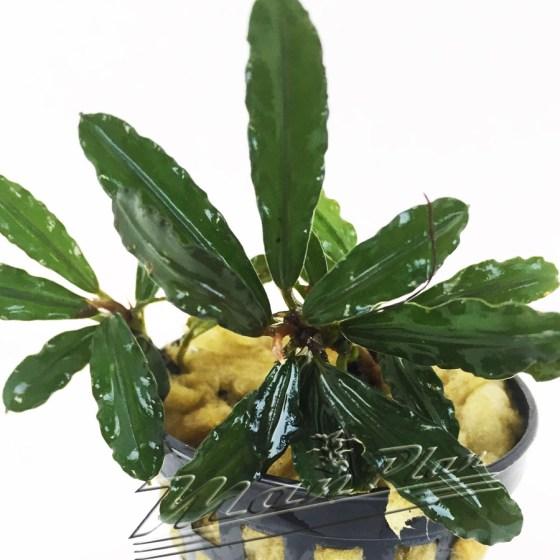 Bucephalandra Fino Mimosa