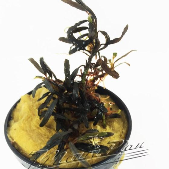 Bucephalandra Giant Catherinae