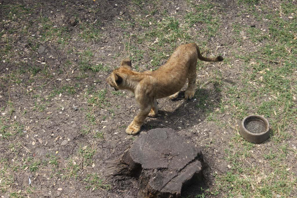 Lion Cub at Casela
