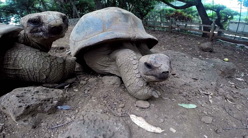 giant tortoises at Casela